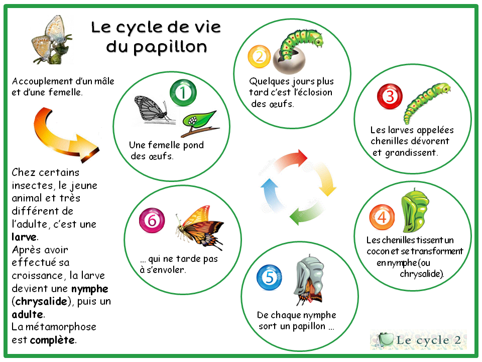 cycle-de-vie-du-papillon