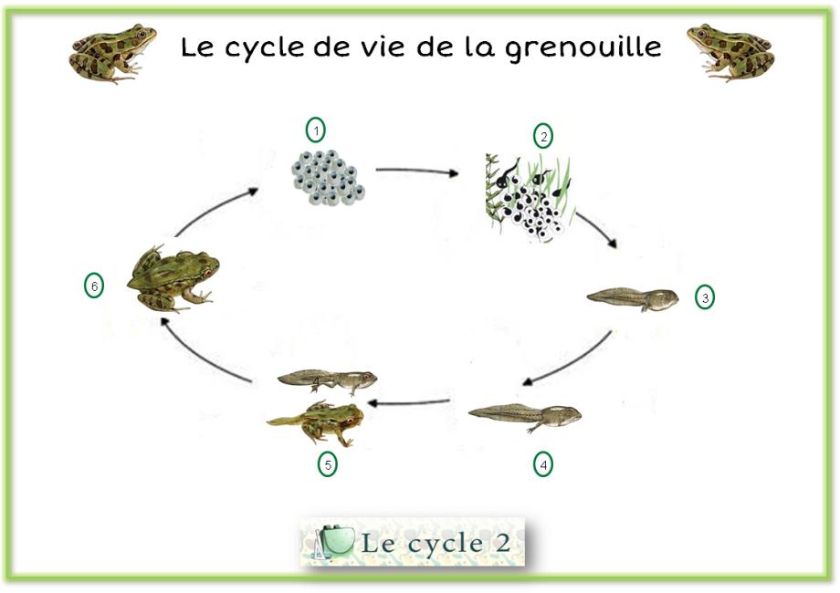 etapes-du-developpement-de-la-grenouille-cycle-2-ce1-ce2