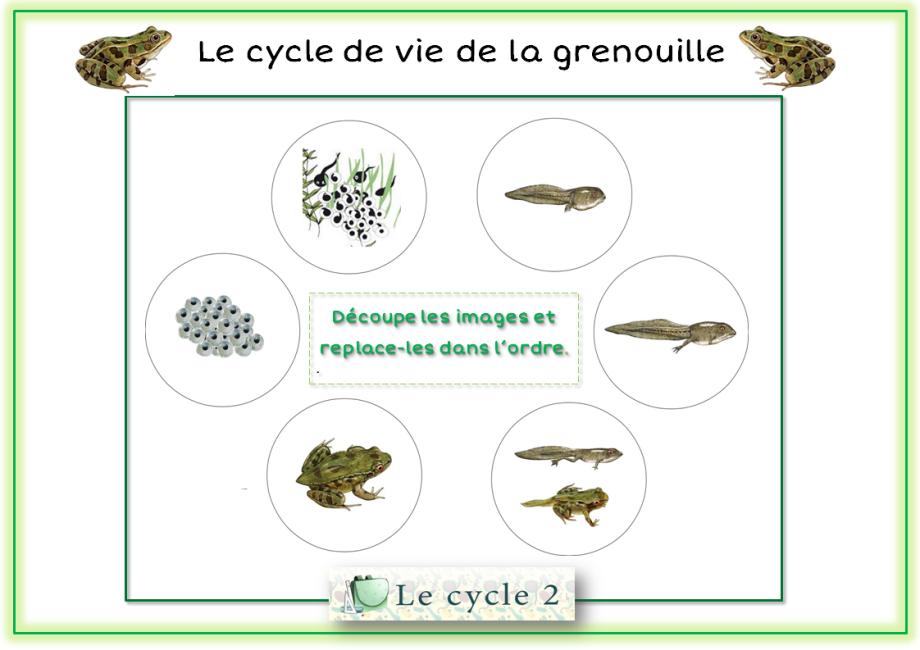 exercices-metamorphose-de-la-grenouille-ce1-ce2-cycle-2