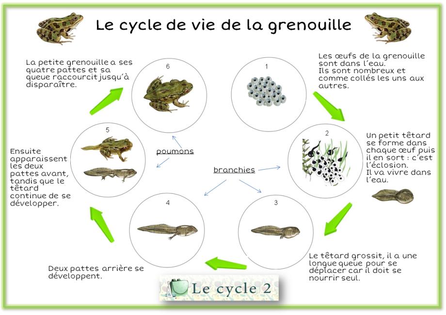 schema-cycle-de-vie-de-la-grenouille-cycle-2-ce1-ce2
